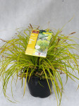 CAREX EVERILLO 2,5 L