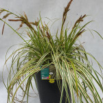 CAREX FEATHER FALLS 7 L