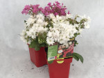 LEWISIA SUNSET STRAIN MELANGE Pot 0,75 L
