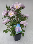 ROSIER GRANDES FLEURS PACIFIC DREAM 7L