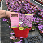 PHLOX SUBULATA PURPLE BEAUTY 0,75 L